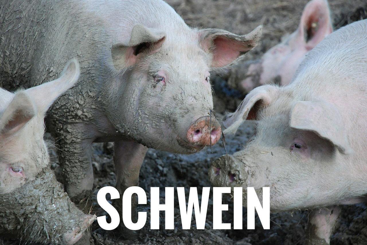 Kategorie Schwein
