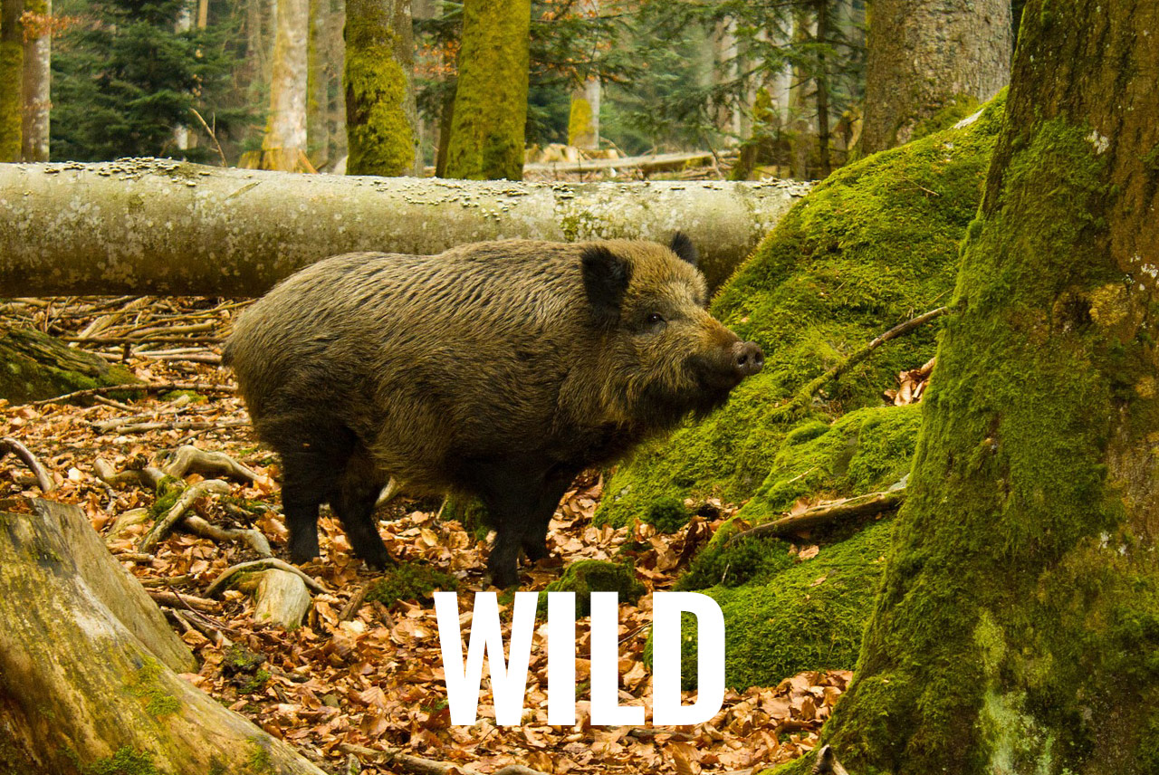 Kategorie Wild